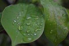 De dalingen van het water op blad stock afbeelding