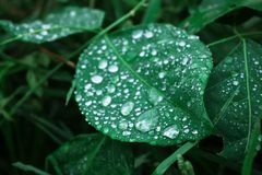 De dalingen van het water op bladeren Royalty-vrije Stock Foto's