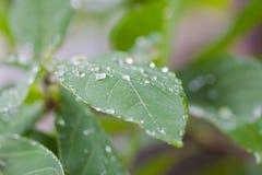 De dalingen van het water op bladeren Stock Foto's
