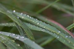 De dalingen van het water op bladeren Stock Fotografie