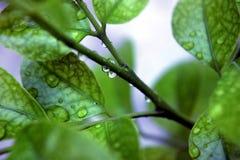 De dalingen van het water op bladeren Royalty-vrije Stock Foto