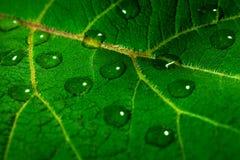 De dalingen van het water op groen blad Stock Afbeelding