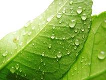 De dalingen van het water op groen blad royalty-vrije stock foto's