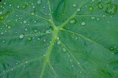 De dalingen van het water op groene bladeren Stock Foto's