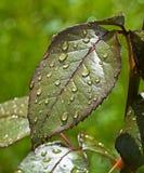 De dalingen van het water op groene bladeren Royalty-vrije Stock Foto