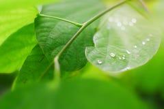 De dalingen van het water op groene bladeren Royalty-vrije Stock Afbeeldingen