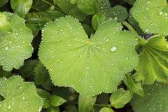 De dalingen van het water op groene bladeren stock afbeeldingen