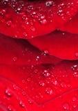 De dalingen van het water op het rode roze bloemblaadje Royalty-vrije Stock Foto