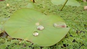 De dalingen van het water op lotusbloembladeren Royalty-vrije Stock Afbeelding