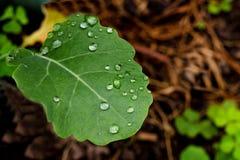 De dalingen van het water op verse groene bladeren Stock Afbeelding