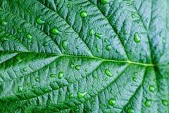 De dalingen van het water op verse groene bladeren Stock Afbeeldingen