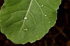 De dalingen van het water op verse groene bladeren Stock Foto's