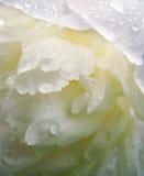 De dalingen van het water op wit pioenbloemblaadje stock foto