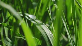De dalingen van ochtenddauw liggen op de groene bladeren van de installatie stock videobeelden