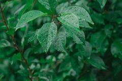 De dalingen van regen liggen op sappige bladeren stock afbeelding