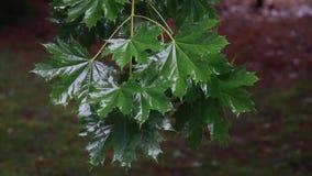 De dalingen van de regen op groene bladeren stock videobeelden