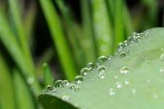 De dalingenmacro van de regen op a lilly van het valleiblad Royalty-vrije Stock Afbeelding