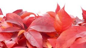 De dalingsbladeren van de herfst De bladeren van de esdoorn op achtergrond stock videobeelden