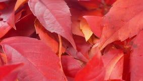 De dalingsbladeren van de herfst De bladeren van de esdoorn op achtergrond stock video