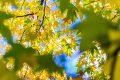 De dalingsbladeren van de herfst De bladeren van de esdoorn op achtergrond Royalty-vrije Stock Afbeelding