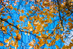 De dalingsbladeren van de herfst De bladeren van de esdoorn op achtergrond Royalty-vrije Stock Foto's