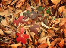 De dalingsbladeren van de herfst De bladeren van de esdoorn op achtergrond Royalty-vrije Stock Afbeeldingen
