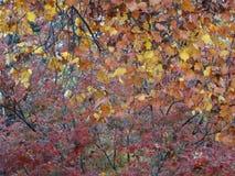 De dalingsboom verlaat de Kleuren van de Bladwinter Stock Foto