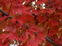 De dalingsboom verlaat de Kleuren van de Bladwinter Royalty-vrije Stock Afbeelding