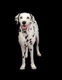 De Dalmatische Status van de Hond Royalty-vrije Stock Foto