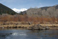 De Dam van de bever in de Lente Royalty-vrije Stock Fotografie