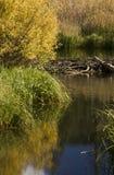 De Dam van de Bever van de herfst Royalty-vrije Stock Afbeeldingen