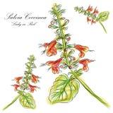 De Dame van Coccinea van Salvia in Rood stock illustratie