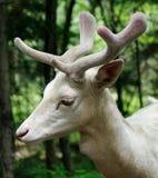 De Damherten van de albino Royalty-vrije Stock Afbeeldingen