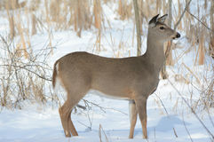 De Damhinde die van Whitetailherten zich in de Wintersneeuw bevinden stock afbeeldingen