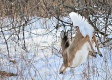 De Damhinde van de Herten van Whitetail stock foto's
