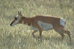 De Damhinde van de Pronghornantilope Royalty-vrije Stock Foto's