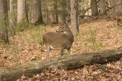 De damhinde van Whitetail in het bos Royalty-vrije Stock Afbeeldingen