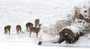 De damhinde van Whitetailherten in de sneeuw stock fotografie