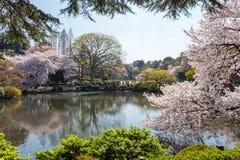 De damm- och Körsbär-blomning träden i Shinjuku, Tokyo Royaltyfria Foton