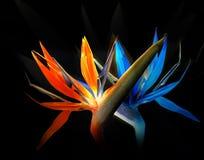 De dans van paradijsvogels Stock Afbeeldingen