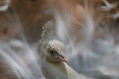 De Dansende witte pauw Royalty-vrije Stock Afbeeldingen