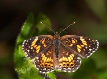 De dapper geruite vlinder van Gorgone Checkerstpot stock foto