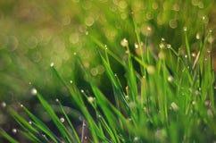 De dauw van de de lenteochtend op het gras Stock Foto's