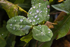 De dauw van de ochtend op bladeren Stock Afbeelding