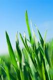 De Dauw van de ochtend op Gras stock afbeelding