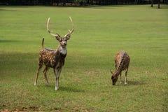 De de bevlekte herten en damhinde die van de Asbok door grasrijke weide lopen Stock Foto's