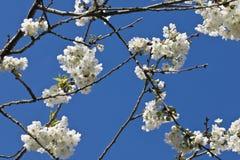De de boomtak van de de lentekers met het witte bloeien bloeit in blauw hemel achtergrondmotiefpatroon Stock Afbeelding