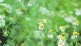 De de close-upzomer van het gebiedsgras in openlucht stock video