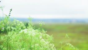 De de close-upzomer van het gebiedsgras in openlucht stock videobeelden