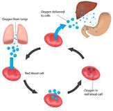 De de Geëtiketteerde Lever en Maag van de rode bloedcelcyclus Ademhaling Royalty-vrije Stock Afbeeldingen